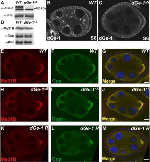 dGe-1 promotes P body formation in the fly germline.(A) dGe-1 protein levels are strongly reduced in dGe-1Δ5 GLC. Western blot of dGe-1 protein in extract of 0-2 h wt or dGe-1Δ5 GLC embryos probed with rat anti-dGe-1 antibodies. The band just above 150 kDa, which is dramatically reduced in the mutant extract, represents dGe-1 protein. Khc protein serves as a loading control. (B-C) dGe-1 signal is absent from the nurse cells and oocyte of dGe-1Δ5 GLC. Immunodetection of dGe-1 protein in wt (B) and dGe-1Δ5 GLC (C) ovaries using rat anti-dGe-1 antiserum. (D) Western blot analysis of ovarian extracts from wt and dGe-1Δ5 GLC ovaries, probed with mouse anti-Me31B and anti-Cup antibodies and rabbit anti-Khc antibody. Khc serves as a loading control. (E–K) Immunostaining of wt (E–G), dGe-1Δ5 GLC (H–J) and dGe-1Δ5/dGe-1Δ5; dGe-1 Rescue (dGe-1 R) (K–M) S7 egg-chambers using a rabbit anti-Me31B antibody (E, H, K) or a mouse anti-Cup antibody (F, I, L). Overlays are shown in G, J and M. Bar, 10 µm.