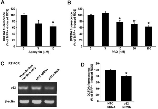 Pharmacological inhibitors of NADPH oxidase and silencing p22phox using siRNA attenuate MPP+ induced ROS. N27 cells were treated for 18 hours with 300 μM MPP+ and increasing concentrations of either apocynin (A) or phenylarsine oxide (PAO) (B). H2O2 levels were measured using caboxy-H2-DCFDA and flow cytometry. ROS levels are represented as percent of MPP+ induced ROS. * represents p < 0.05 compared to cells receiving no inhibitor. (C) N27 cells were transfected with a non-targeting control (NTC) siRNA or a SmartPool siRNA targeting p22phox. Total RNA was collected and reverse transcribed to cDNA. Primers complimentary to rat p22phox were used to amplify the cDNA. An image of a single representative ethidium bromide-stained agarose gel is shown from one knockdown experiment out of three that produced an average knockdown of 40%. (D) N27 cells were transfected with NTC or p22phox siRNA Smartpool and the intracellular H2O2 was measured with flow cytometry as described above. * represents p < 0.05 compared to NTC siRNA-treated cells. Data are from 3 independent experiments with n = 6 wells per experiment.
