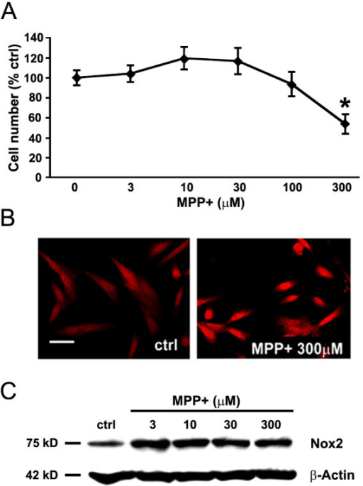 Catalytic subunit of NADPH oxidase Nox2 is elevated by the MPP+ treatment. N27 cells were treated with different concentrations of MPP+ for 24 hours. (A) Survival of N27 cells as a function of MPP+ concentration. (B) Immunofluorescent detection of Nox2 in N27 cells cultured either in the absence (control, ctrl) or presence of 300 μM MPP+, a concentration of MPP+ that results in loss of 45 percent of N27 cells. Scale bar equals to 20 μm. (C) Western immunoblot illustrating the effect of treating the cultures with increasing concentrations of MPP+ on expression of Nox2 protein. β-actin served as a loading control. Data in panel A, are from 3 independent experiments with n = 6 wells per experiment and *represents p < 0.01 compared to all other concentrations examined.