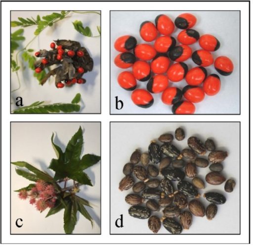(a) Abrus precatorius plant and (b) jequirity seeds. (c) Ricinus communis plant and (d) castor seeds.