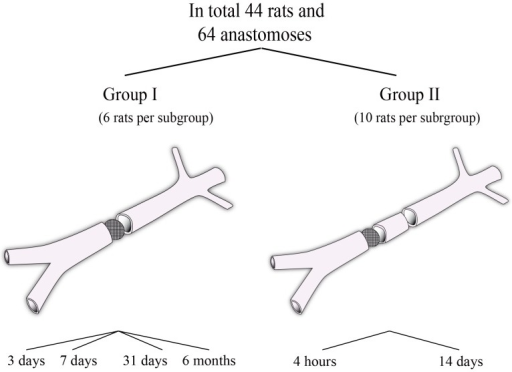 Overview of the groups I and II. Group I evaluated the healing process of the filter anastomosis alone.Group II evaluated the possibility to perform two adjacent anastomoses.