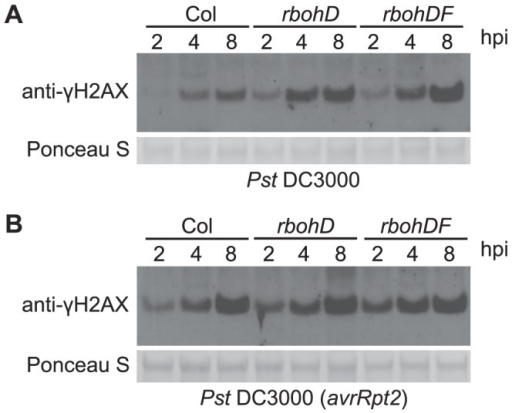 Pst-induced γ-H2AX accumulation is independent of Pst-triggered ROS production.Four-week old wild-type Arabidopsis Col, atrbohD and atrbohDF plants were vacuum-infiltrated with (A) Pst DC3000 or (B) Pst DC3000(avrRpt2) at a concentration of 1×107 cfu/ml. The level of γ-H2AX was assessed at 2, 4 and 8 h postinoculation by immunoblot using anti-γ-H2AX antibody. Equivalent loading of lanes was verified using Ponceau S stain.