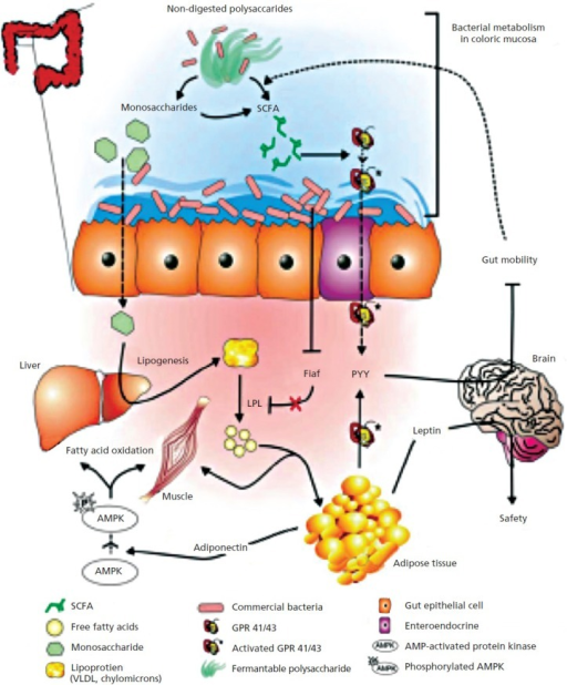 The gut microbiome has a regulatory function on host en   Open-i