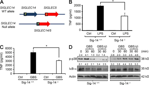 The Siglec-5/14 genotype influences primary human monocyte responses to LPS and GBS. (A) Pictorial representation of SIGLEC-14/5 polymorphism in humans. Highly similar regions of SIGLEC14 and SIGLEC5 resulted in the generation of a SIGLEC14/5 fusion gene, leading to deletion of SIGLEC14 and expression of SIGLEC5 under the SIGLEC14 promoter. (B) Human blood monocytes of the indicated genotypes were left unstimulated (Ctrl) or stimulated with 10 ng/ml LPS, and TNF protein release was measured at 6 h by ELISA. (C) Human blood monocytes of the indicated genotypes were left uninfected (Ctrl) or infected with GBS at MOI = 10, and TNF protein release was measured at 6 h by ELISA. (D) Human monocytes of the indicated genotypes were left uninfected or infected with GBS or GBSΔβ for the indicated times and then lysed and analyzed for phosphorylation of p38 MAPK and IκB-α degradation by immunoblot. The p-p38/actin and IκB-α/actin (×10) densitometry values are shown on corresponding blots. Data in B–D are representative of two to four independent experiments with one to three different donors per genotype in each experiment. Results are means ± SD; *, P < 0.05.