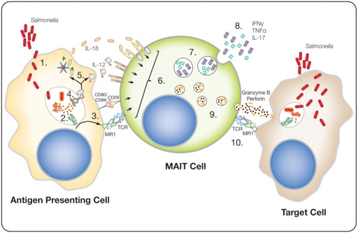 Potential Mait Cell Response To Salmonella Infected Cel Open I