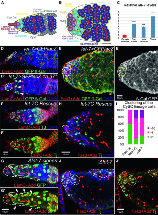 let-7 deficiency affects somatic cells behavior in ovaries and testes, which cell-non-autonomously influences early germline differentiation. Drosophila ovaries and testes present commonalities in their general organization and the type of cells they comprise (Fuller and Spradling 2007). The ovary is a paired organ consisting of 16–20 ovarioles, each representing a string of progressively developing egg chambers. (A) At the apex of an ovariole, the germarium comprises somatic cells (terminal filament, TF; cap cells, CpC's; escort cells, ECs; follicle stem cells, FSCs; follicle cells, FCs) and germline cells (germline stem cells, GSCs; cystoblast, CB; differentiating cyst, Cyst). GSCs are physically attached to the somatic cluster of cap cells that, with the terminal filament cells, represent the GSC niche. GSCs divide into a differentiating cystoblast, which then divides four times with incomplete cytokinesis, producing a 16-cell cyst in which 1 cell becomes the oocyte while the others develop as nurse cells. These different germline cell populations can be easily identified by their location and specific markers in the germarium. For example, Drosophila adducin homolog antibody marks an actin-rich cellular organelle represented as a dot-like structure in single cells (GSCs and CBs) and as a branched fusome in the developing cysts. There is another class of somatic cells at the anterior of the germarium, called the escort cells. These squamous cells are mitotically quiescent and envelop differentiating cysts to protect them from niche signaling, an important role for germline differentiation (Chen et al. 2011). ECs guide differentiating cysts to the posterior end of the germarium, where the germline becomes encapsulated by the follicular epithelium and pinched off from the germarium. (B) The Drosophila testes are a paired tubular organ that consists of somatic and germline cells. Scheme depicting the testis apex somatic cells (hub cells, Hub; cyst stem cells, CySC's; cyst stem cells lineage, CySC lineage) and germline cells (germline stem cells, GSCs; gonioblast, GB; differentiating spermatocysts and spermatogonia). Attached to the stem cell niche, termed the hub, reside two types of stem cells: GSCs and CySC's. While the hub is made by a cluster of postmitotic somatic cells, both stem cell types divide in synchrony to produce differentiating germline cysts, each of which is encapsulated by two somatic CySC's lineage cells. This encapsulation is critical for proper germline differentiation (Leatherman and Dinardo 2010). Similar to the ovarian GSC progeny, the germline gonioblast undergoes four rounds of incomplete cytokinesis to produce 16 primary spermatocytes in a cyst, eventually generating 64 sperm cells. (C) The relative expression levels of miRNA let-7 in female and male carcasses, ovaries, and testes show that let-7 miRNA is sex biased and expressed at the higher levels in testes (see also Table S17). (D, D′, E, E′) Localization of let-7-C miRNAs in the ovaries and testes, detected via membrane GFP and nuclear lacZ expressed under the control of the let-7-C promoter (let-7-CGK1–Gal4/UAS–CD8-GFP::nuc–lacZ). In the ovary, let-7-C is expressed in the somatic cells of the germarium, CpCs and ECs (D). (D′) More ECs express let-7-C, shown by the presence of lacZ (β-Gal, green) when adult flies were subject to a heat shock for 1 hr prior to dissection. (E and E′) In the testis, let-7-C is broadly expressed in all somatic cells, CySC's and their lineage and the hub cells (let-7-CGK1-Gal4/UAS-CD8-GFP::nuc-lacZ). (F and F′) Control let-7-C rescue germaria (P{W8, let-7-C}/+; let-7-CGK1/KO1) show typical numbers of germline SSCs and developing cysts (marked by the spectrosome and fusome marker Adducin, Add, red) as well as somatic ECs (marked by Traffic jam, Tj, green). The GSC niche (marked by Lamin C, LamC, red) is outlined by yellow dashed lines. (G and G′) Somatic cell ∆let-7 clones (Ubi–GFP, FRT40A/ FRT40A, let-7 miR-125; bab1–Gal4, UAS–Flp/P{W8, let-7-CΔlet-7}) are marked by the absence of GFP and outlined by white dashed lines. Upon let-7 depletion in the soma of the germarium, the number of somatic ECs and germline SSCs increases, while the number of fusome-containing cysts decreases. The magnification is the same in F and G. (H) The testicular apex of a control let-7-C rescue (P{W8, let-7-C}; let-7-CGK1/KO1) displays typical numbers of germline CBs and cysts (marked by spectrosome and fusome marker Add, red) and the CySC lineage cells (marked by Tj, green); yellow dashed lines outline the hub (marked by Fasciclin III, Fas3, red). (J) In Δlet-7 mutant testis (let-7-CGK1/KO1; P{W8, let-7-CΔlet-7}/+) the CySC lineage cells cluster in larger groups and express the ovarian follicular epithelium marker, Fas3. These clusters (outlined by white dashed lines) can be found at the apex or the side of the testicular tube. (I) Percentages of mutant testes containing large ≥5 or >10 somatic cell clusters in comparison to control let-7-C Rescue. Ten to 20 testes were analyzed for each genotype. Red: LamC + Add in D, D′, F, F′, G, G′ ; Fas3 + Add in E, H, J, J′. Green: GFP + β-Gal in D and E; GFP in G, G′; Tj in F, F′, H, J, J′. White: GFP + β-Gal in E′. Blue: DAPI in D–H, G–J′. D, E + E′, H, J + J′ are single confocal sections while D′, F + F′, and G + G′ are projections of several z-stacks.
