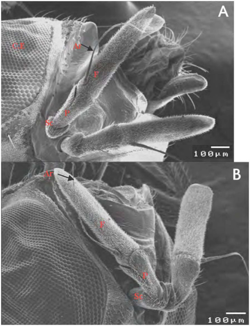 Scanning electron micrograph of the antennal segment of male (A) and female (B) Bactrocera zonata. Sc: scape; P: pedicel; F: funiculus; Ar: aristae. High quality figures are available online.