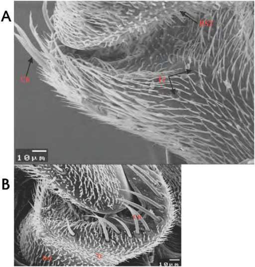Scanning electron micrograph of the scape of male (A) and female (B) Bactrocera zonata showing different types of sensilla. Tr: trichoid sensilla; BsII: basiconica sensilla type 2; Ch: cheatica sensilla. High quality figures are available online.