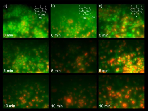 Cellular uptake and intracellular distributionand wash-out kineticsof MayaFluors 12a and 12b in comparisonto difluoro BODIPY 9. MD-MBA 231 cells (expressing mCherrylabeled histone H2B) were treated for 30 min at 10 μM followedby media replacement every 5 min to remove excess dye. Both CMA-BODIPYsshow relatively homogeneous even intracellular distribution comparedto BODIPY 9, which seems to primarily locate to endosomalstructures. 12a and 12b are efficientlywashed out within 10 min in contrast to 9, which is retained.Each image was acquired from an independent replicate well, to ensureno confounding photobleaching effects. (High resolution images areprovided in SI Figure 5.) All images wereacquired with identical microscopy settings and have not been processeddifferently to allow for direct comparison. All images are to scale.