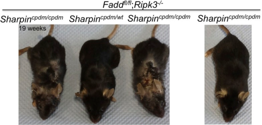 Variability among Sharpincpdm/cpdm;Ripk3−/− mice at a similar age.The gross appearance of severe skin lesions in two Sharpincpdm/cpdm;Ripk3−/− mice at the age of 19 weeks (left) and a Sharpincpdm/cpdm;Ripk3−/− mouse at the same age with only a very mild phenotype (right).DOI:http://dx.doi.org/10.7554/eLife.03422.005