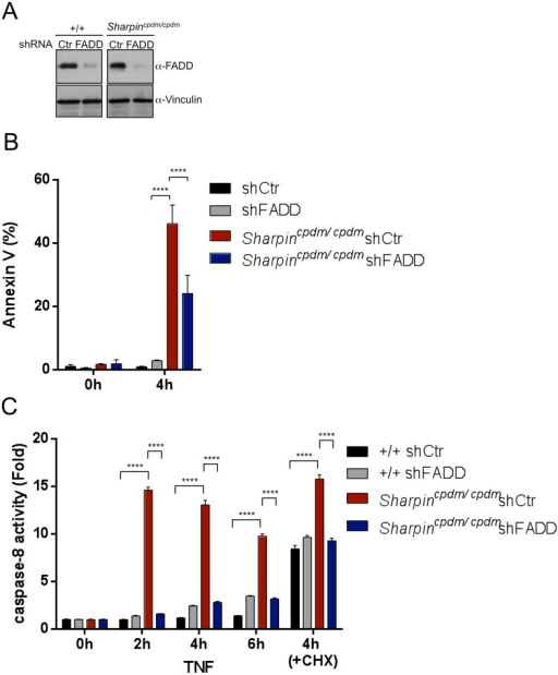 Fas-associated protein with death domain (FADD) plays an important role in the Sharpin-dependent apoptosis signaling.(A) Immunoblot of FADD after stable knocked down of FADD in wild type (+/+) mouse embryonic fibroblasts (MEFs) and Sharpincpdm/cpdm MEFs by shRNA. α-Vinculin antibody was used for the loading control. (B) Fluorescence-activated cell sorting (FACS) analysis of annexin V positive cells after stimulation with tumor necrosis factor (TNF) + cycloheximide (CHX) for 4 hr in +/+ shCtr MEFs, +/+ shFADD MEFs, Sharpincpdm/cpdm shCtr MEFs, and Sharpincpdm/cpdm shFADD MEFs. (C) Caspase-8 activity measurement upon stimulation with TNF with or without CHX for the indicated time in +/+ shCtr MEFs, +/+ shFADD MEFs, Sharpincpdm/cpdm shCtr MEFs and Sharpincpdm/cpdm shFADD MEFs. Results are expressed as mean values ± SD. Statistical significance was determined using ANOVA test (****p ≤ 0.0001).DOI:http://dx.doi.org/10.7554/eLife.03422.017