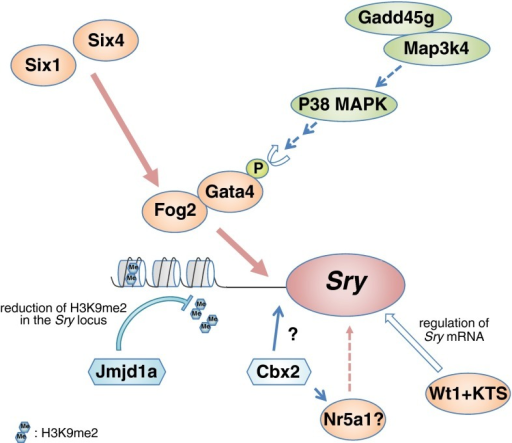 Model for Sry upregulation. Before the onset of Sry expression, a reduction in the H3K9me2 levels of the Sry locus is mediated by stage-specific upregulation of the H3K9 demethylase Jmjd1a, which may allow Sry upregulation by transcriptional factors. Interactions of Gata4 with its co-factor Fog2 are critical for Sry activation. Fog2 is upregulated in the coelomic epithelium by Six1 and Six4 before the onset of Sry expression. Gata4 is transiently activated by the Gadd45g-Map3k4-p38 MAPK pathway because of the stage-specific Gadd45g upregulation. Subsequently, the phosphorylated Gata4 and Fog2 protein complex may bind to the Sry promoter and activate Sry expression in a stage-specific manner. The Wt1+KTS isoform may contribute to the post-transcriptional regulation of Sry mRNA. The polycomb group gene Cbx2 is required for Sry upregulation, but the genetic interaction between Cbx2 and Sry is unclear. In addition, Cbx2 promotes Nr5a1 upregulation, and Nr5a1 is proposed to be one of the upstream regulators of Sry