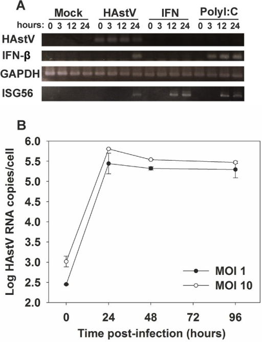 Induction of an IFN response is delayed during HAstV infection.(A) Temporal analysis of induction of IFN-β and ISG56 mRNA expression by in CaCo-2 cells infected with HAstV at a MOI of 1. Mock-infected cells, cells treated for 24 h with exogenous IFN at 1,000 U/ml, and polyI:C-transfected cells were used as controls. (B) HAstV growth curve on CaCo-2 cells at 2 different MOIs. Total HAstV RNA was measured by qRT-PCR at the indicated times post-infection. Data represent mean values of duplicate wells and error bars represent the standard error of the mean (SEM).
