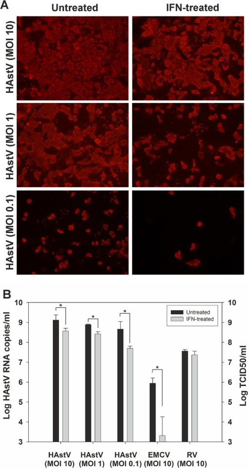 Effect of exogenous IFN on HAstV replication.(A) IF analysis of CaCo-2 cells after a 24 h pre-treatment with 1,000 U IFN/ml and infection at different MOIs. (B) Quantitative measurement of HAstV, EMCV, and RV progeny release in the supernatant of untreated cells and IFN-treated cells. Data represent mean values of 2–3 independent experiments and error bars represent the SEM. Asterisk indicates a statistically significant difference between mean titers from untreated and IFN-treated samples (t-test) (p<0.001).