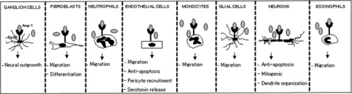 Schematic depiction of Ang-1-Tie2 effect on various cell types. Several cells are capable expression Ang-1 and Tie2 receptors. Ang-1 is activates Tie2 receptors on these cells, leading to downstream signallingsignaling and ultimately regulation of cellular behavioursbehaviors. Some of the various known roles of Ang-1-Tie2 effects in vascular and extravascular cells have been illustrated.