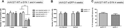 A high dose of rAAV2/7-WT α-SYN induces similar dopaminergic degeneration in parkin−/− and parkin+/+ mice. Stereological quantification of the number of TH-positive neurons in the SN of parkin+/+ and parkin−/− mice at (A) 1 week and 4 weeks after injection with a high titer of rAAV2/7-WT α-SYN and at (B) 4 weeks after injection with rAAV2/7-eGFP. (C) quantification of TH staining in striatum (injected over non-injected side) of parkin+/+ and parkin−/− mice 4 weeks after injection. Asterisks depict significant decrease respective to 1 week, unless specified otherwise. (Mean ± SEM, two-way ANOVA followed by Bonferroni post-hoc test, ** p < 0.01 ***p < 0.001, 1 week rAAV2/7-WT α-SYN: n = 4; 4 weeks rAAV2/7-WT α-SYN: n = 15-16; 4 weeks rAAV2/7-eGFP: n = 5-6).