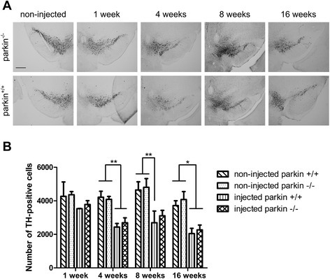 A low dose of rAAV2/7-WT α-SYN induces similar dopaminergic degeneration in parkin−/− and parkin+/+ mice. (A) Representative images of immunohistochemical staining for TH in the SN at 1 week, 4 weeks, 8 weeks and 16 weeks after injection with a low titer of rAAV2/7-WT α-SYN. Scale bar = 400 μm. (B) Stereological quantification of the number of TH-positive neurons in the SN of parkin+/+ and parkin−/− mice at 1 week, 4 weeks, 8 weeks and 16 weeks after injection with a low titer of rAAV2/7-WT α-SYN. (Mean ± SEM, two-way ANOVA followed by Bonferroni post-hoc test, *p < 0.05, **p < 0.01, n = 2-3 at 1 week, n = 10-13 at 4 weeks, n = 5-6 at 8 weeks, n = 6 at 16 weeks).