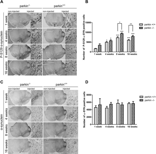 Increased P-S129 α-SYN in parkin−/− mice after injection with a low titer of rAAV2/7-WT α-SYN. (A) Representative images of P-S129 α-SYN expression in the SN of parkin−/− and parkin+/+ mice at 1 week, 4 weeks, 8 weeks and 16 weeks after injection with a low titer of rAAV2/7-WT α-SYN. Right panels are magnifications of the overview of the injected side (middle panels). Scale bar overviews = 400 μm and magnifications = 50 μm. (B) Stereological quantification of the number of P-S129 α-SYN positive cells in the injected side of the SN of parkin+/+ and parkin−/− mice at 1 week (n = 2-3), 4 weeks (n = 10-13), 8 weeks (n = 5-6) and 16 weeks (n = 6) after injection. Asterisks depict significant increase respective to 1 week, unless specified otherwise. (Mean ± SEM, two-way ANOVA followed by Bonferroni post-hoc test, student's T-test followed by Benjamini-Hochberg to compare parkin+/+ and parkin−/− separately at the different time points, *p < 0.05, **p < 0.01, ***p < 0.001). (C) Representative images of α-SYN expression in the SN of parkin−/− and parkin+/+ mice at 1 week, 4 weeks, 8 weeks and 16 weeks after injection with a low titer of rAAV2/7-WT α-SYN. Right panels are magnifications of the overview of the injected side (middle panels). Scale bar overviews = 400 μm and magnifications = 50 μm. (D) Stereological quantification of the number of α-SYN positive cells in the injected side of the SN of parkin+/+ and parkin−/− mice at 1 week (n = 2-3), 4 weeks (n = 10-13), 8 weeks (n = 5-6) and 16 weeks (n = 6) after injection with a low titer of rAAV2/7-WT α-SYN. (Mean ± SEM).