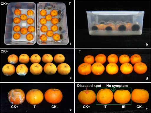 Control of citrus green mold by the VOCs from Ceratocystis fimbriata (4 DPI).(a-b) Experimental design for the bio-control system. (c) Citrus inoculated with 10 μL conidial suspension of Penicillium digitatum at 105 conidia/mL without treatment. (d) Citrus inoculated with 10 μL conidial suspension of P. digitatum at 105 conidia/mL and treated by the VOCs from C. fimbriata. (e) Comparison among the positive control (CK+), negative control (CK-) and treated by C. fimbriata volatiles (T). (f) Pathogenicity test of the treated and recovered P. digitatum. T (treated) = the citrus inoculated with 10 μL conidial suspension of P. digitatum at 105 conidia/mL with the treatment by the VOCs form C. fimbriata. CK+ (positive control) = the citrus inoculated with 10 μL conidial suspension of P. digitatum at 105 conidia/mL without treatment. CK- (negative control) = the citrus inoculated with 10 μL sterile water without treatment. IT = inoculation with treated 2 mm plug of P. digitatum. IR = inoculation with recovered 2 mm plug of P. digitatum.