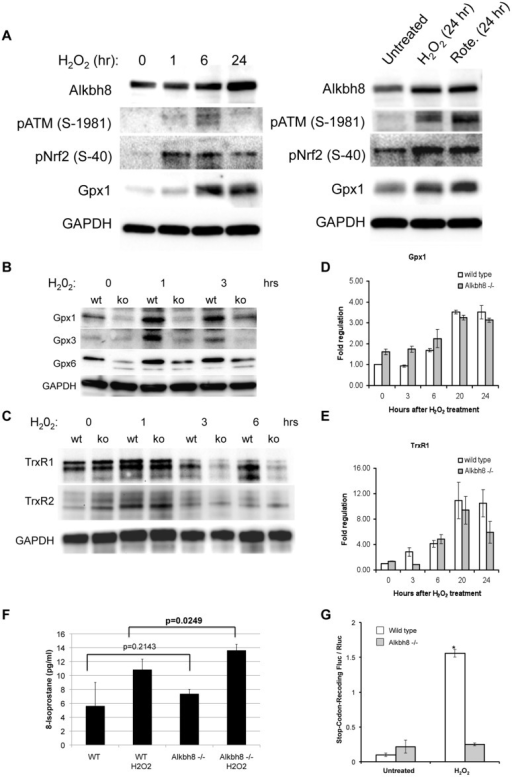 Compromised ROS response and stop-codon recoding with decreased Gpx and TrxR1 protein levels and activity in Alkbh8-/- MEFs.Wt and Alkbh8-/- MEFs were treated as indicated and then prepared for western blot analysis with A) anti-Alkbh8, anti-Nrf2, anti-ATM S15 phosphorylated B) anti-Gpx, C) and anti-TrxR antibodies. Anti-TrXR1 antibody (Peirce PAS-28886) detects TrxR1 at 67 kD and a cross-reacting (higher MW) band in mouse cells. For A—C, anti-GAPDH antibodies were used to as loading controls. D) qRT-PCR analysis of Gpx1 transcript levels. E) qRT-PCR analysis of TrxR1 transcript levels. F) Lipid peroxidation levels were measured in whole cell lysates prepared from wt and Alkbh8-/- MEFs under basal and H2O2-treated conditions. G) Stop-codon recoding was measured using the DualLuc-Gpx1 reporter system in wt and Alkbh8-/- MEFs under basal and H2O2-treated conditions. Statistical significance (p < 0.05) of biological replicates (N = 3) was measured using the Student's t-Test.