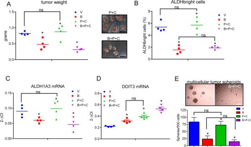 Butein treatment affects the ALDHbright cell number in vivo and inhibits tumor growthA. Average weight of tumors excised from NOD-SCID mice (n=6/group) injected subcutaneously with 3*10^6 MSTO-211H cells and treated intraperitoneally with vehicle (V, 20 %DMSO/80%corn oil), butein (B, 5mpk), pemetrexed + cisplatin (V+P+C: 45mpk + 7mpk, respectively) and butein + pemetrexed+ cisplatin (B+P+C 5mpk+45mpk+7mpk, respectively) after tumor formation. Duplicate experiments. Inset. Representative micrographs of tumors excised from P+C and B+P+C treated mice, respectively, at day 24 p.i. Scale bar: 0.5 inches. B. FACS plots show the average percentage of ALDHbright cells from freshly excised and disaggregated tumors. C-D. Butein-treated tumors exhibit inverse regulation of DDIT3 and ALDH1A3 mRNAs. The levels of DDIT3 and ALDH1A3 mRNAs were assessed by quantitative PCR in freshly excised tumors. Asterisks indicate outliers. E. Upper panel. Representative micrographs of 3D clonogenic assays performed with cells derived from the disaggregated tumors of mice treated with V+P+C or B+P+C. Scale bar: 100 μm. Lower panel. Average number of 3D spheroids formed from the disaggregated tumors. Duplicate experiments. Histogram bars represent the mean ± s.e.m. Statistics: * p < 0.05; ns=not significant: (p > 0.05). One-way analysis of variance with Tukey's post hoc corrections-comparing the mean of each group with the mean of every other group.