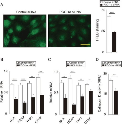 PGC-1α regulates lysosomal activity in ARPE-19 cells.(A) Nuclear immunofluorescence with TFEB antibody was weaker in cells transfected with PGC-1α siRNA compared to those transfected with control siRNA. Mean ± SEM, n = 6 per group, two-tailed Student's t-test, ****P < 0.0001; scale bar, 50 μm. (B) In cells transfected with PGC-1α siRNA, mRNA levels of TFEB target genes including galactosidase α (GLA), hexosaminidase A (HEXA), tripeptidyl peptidase I (TPPI), and cathepsin F (CTSF) were downregulated compared to those transfected with control siRNA. Mean ± SEM, n = 6 per group, two-tailed Student's t-test, **P < 0.01, ***P < 0.001, ****P < 0.0001. (C) In cells pretreated with FAK inhibitor 14, mRNA levels of TFEB target genes including GLA, HEXA, TPPI, and CTSF were downregulated compared to those pretreated with vehicle control. Mean ± SEM, n = 6 per group, two-tailed Student's t-test, **P < 0.01, ****P < 0.0001. (D) In cells transfected with PGC-1α siRNA, cathepsin D activity was significantly downregulated compared to those transfected with control siRNA. Mean ± SEM, n = 6 per group, two-tailed Student's t-test, ***P < 0.001.
