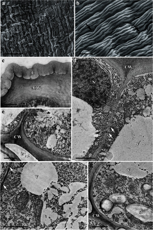 Scanning electron micrographs and ultrastructure of nectary spur of Consolida regalis: a–b scanning electron micrographs, c–g transmission electron micrographs. a Glabrous surface of inner epidermis. Scale bar = 100 μm. b Details of internal epidermis with highly striate cuticle and nectar residues (arrows) between rows of adjacent epidermal cells. Scale bar = 20 μm. c Details of outer tangential wall of internal epidermis with thick cuticle layer, containing numerous micro-channels. Scale bar = 2 μm. d Internal epidermal cells containing long profiles of rough endoplasmic reticulum, vesicles, large nuclei, and central vacuole, note the numerous plasmodesmata connecting the epidermal cells (arrows). Scale bar = 2 μm. e Section showing cytoplasm of internal epidermal cell containing mitochondria and numerous small vacuoles, note relatively large intercellular space (is) between these cells and adjoining nectary parenchyma. Scale bar = 2 μm. f Cytoplasm of secretory parenchyma cells, note numerous plasmodesmata connecting adjacent cells (arrows). Scale bar = 2 μm. g Secretory parenchyma with rough ER profiles and plastids containing partly hydrolyzed starch grains, note the formation of electron-translucent profile in plastids (asterisk). Scale bar = 2 μm