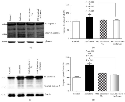 (a) Western blot showed the caspase-3 expression of the four groups. FAS-knockout mice had comparable baseline caspase-3 levels with wild type control mice. Treating FAS-knockout mice with isoflurane did not increase caspase-3 levels (n = 5). Wild isoflurane mice showed the highest expression of caspase-3. (b) Quantification of the western blot for caspase-3 levels showed that isoflurane anesthesia caused an increase in caspase-3 level in hippocampus of wild mice compared with FAS-knockout mice plus oxygen group (∗P = 0.023). FAS knockout reduced the level of caspase-3 caused by isoflurane (#P = 0.017). At last, there was an interaction between FAS knockout and isoflurane anesthesia in that FAS knockout mitigated the isoflurane-induced increase in caspase-3 levels in the hippocampus of neonatal mice (&P = 0.011). No differences in caspase-3 expression were found among wild type control mice, FAS-knockout control mice, and FAS-knockout isoflurane mice. (c) FASL-knockout mice had comparable baseline caspase-3 levels with wild type control mice. Treating FASL-knockout mice with isoflurane did not increase caspase-3 levels (n = 5). Wild isoflurane mice showed the highest expression of caspase-3. (d) Quantification of the western blot for caspase-3 levels showed that isoflurane anesthesia caused an increase in caspase-3 level in hippocampus of wild mice compared with FASL-knockout mice plus oxygen group (∗P = 0.02). FASL knockout reduced the level of caspase-3 caused by isoflurane (#P = 0.03). At last, there was an interaction between FASL knockout and isoflurane anesthesia in that FASL knockout mitigated the isoflurane-induced increase in caspase-3 levels in the hippocampus of neonatal mice (&&P = 0.001). No differences in caspase-3 expression were found among wild type control mice, FASL-knockout control mice, and FASL-knockout isoflurane mice. Error bars represent the standard deviation (SD) of four independent experiments; P < 0.05.