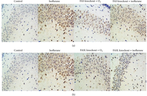 (a) Isoflurane increased the number of TUNEL-positive cells in the hippocampi of wild type neonatal mice compared with wild type control mice. FAS knockout had no effect on baseline TUNEL staining. Isoflurane did not increase TUNEL-positive cells in FAS-knockout mice compared to wild type isoflurane-treated mice. The scale bar represents 50 μm. (b) FASL knockout had no effect on baseline TUNEL staining. Isoflurane did not increase TUNEL-positive cells in FASL-knockout mice compared to wild type isoflurane-treated mice. The scale bar represents 50 μm.