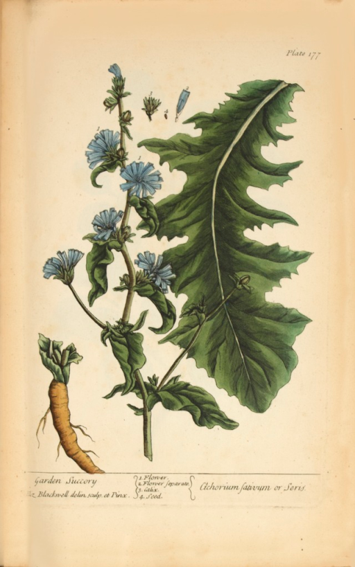 <p>Illustration of the flower, calix, and seeds of a chicory plant.</p>