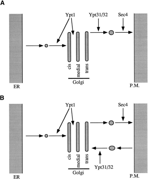 Model for the action of Ypt GTPases in the yeast exocytic secretory pathway. Ypt1p and Sec4p are essential for three  secretory steps: ER to cis-Golgi, cis- to medial-Golgi, and transGolgi to the plasma membrane (Novick et al., 1981; Jedd et al.,  1995). For two of these steps, it was shown that Ypt1 and Sec4  proteins function in targeting of ER- and trans-Golgi–derived  vesicles, respectively (Novick et al., 1981; Rexach and Schekman,  1991; Segev, 1991). (A) Ypt31/32 proteins are suggested to have a  role in promoting vesicle budding from the trans-Golgi. (B) Alternatively, Ypt31/32 may regulate a fusion step between the  trans-Golgi and retrograde vesicles derived from a recycling compartment (see Discussion).