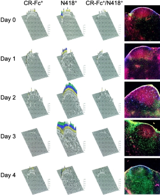 Localization of CR-Fc binding cells in lymph nodes with time after a primary immunization. Three-color confocal analysis was used in order to determine when and where CR-Fc binding cells appeared in the tissue. Cryostat sections prepared from murine lymph nodes obtained at days 0–4 (A–E) of a primary response were processed for IgM expression (red), N418 labeling (green), and CR-Fc binding (blue). The images were then digitally transformed using a computer program in order to map the MFI (in arbitrary units) for either single (CR-Fc+; N418+) or double (CR-Fc+/ N418+) positive cells. The resulting 3D immunohistograms revealed that CR-Fc binding cells accumulated with time in the outer part of the B cell follicles. Many of these cells were also N418+ (see the CR-Fc+/N418+ column). The scale 0–250 represents the MFI, with the colors yellow, blue, green, and red representing values in the 100–150, 150–200, 200–250, and >250 range, respectively.