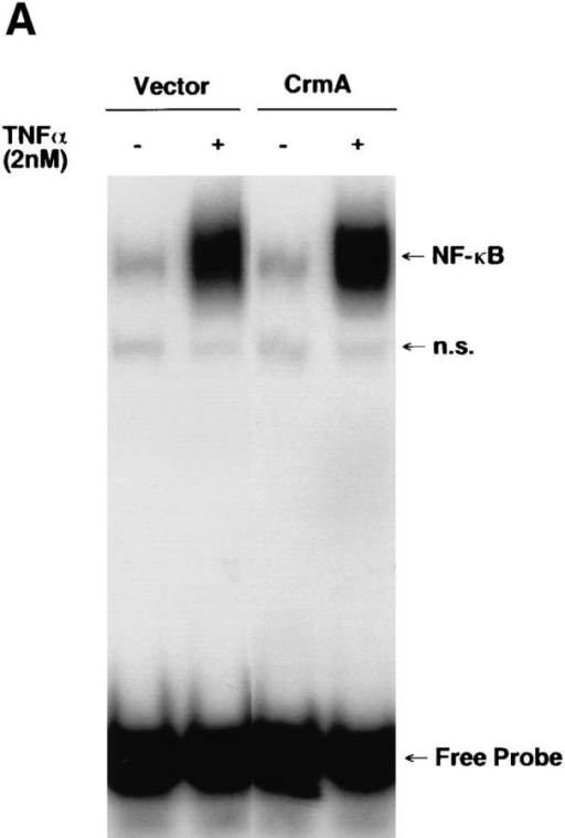 Activation of NF-κB is not inhibited by CrmA (A) or Bcl-2  (B). Electrophoretic mobility shift assay (EMSA) for the transcription factor NF-κB in MCF-7 cells expressing CrmA, Bcl-2, or vector is shown.  Cells were seeded at 2 × 106 cells/10-cm dish in RPMI media containing  10% FBS and rested overnight. Treatment with 2 nM TNF-α proceeded  for 30 min after which the cells were trypsinized, nuclear extracts prepared,  and EMSA performed using 10 μg of nuclear protein and a 32P-labeled  NF-κB oligonucleotide probe as described in Materials and Methods. Bands  representing the specific NF-κB-DNA complex, a nonspecific band (n.s.),  and the free probe are indicated.