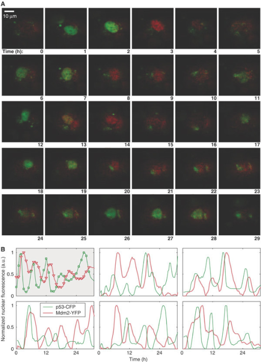 Prolonged oscillations in the nuclear levels of fluorescently tagged p53 and Mdm2 in individual MCF7, U280 cells following gamma irradiation. Reproduced with permission from Geva-Zatorsky et al. 2006, Molecular Systems Biology [30]. A. Time-lapse fluorescence images of one cell over 29 h after 5 Gy of gamma irradiation. Nuclear p53-GFP and Mdm2-YFP are imaged in green and red, respectively. Time is indicated in hours. B. Normalised nuclear fluorescence levels of p53-CFP (green) and Mdm2-YFP (red) following gamma irradiation. Top left: the cell shown in panel A. Other panels: five cells from one field of view, after exposure to 2.5 Gy gamma irradiation.