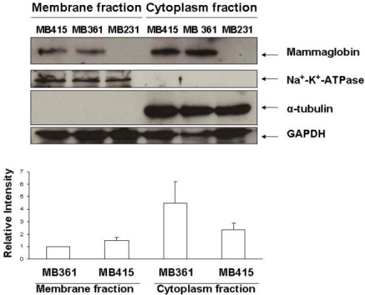 Detection of membrane associated MAM protein on breast cancer cells. The Western blot assay shows the specific MAM protein bands (10.5 kDa) in both membranous and cytoplasmic proteins of MDA-MB361 (361) and MDA-MB415 (415) cells; while no specific bands in the membranous and cytoplasmic proteins of MB231 cells. The bar graph represents the quantitative measurements of Western blot assays from four separated experiments (mean ± SE).