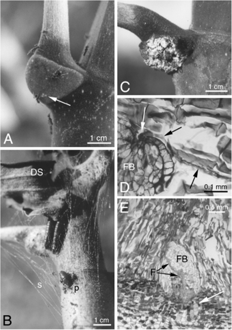 Trichilium of Cecropia.A- Azteca alfari workers removing food bodies (arrow) from a Cecropia obtusa trichilium. B- Pseudocabima guianalis caterpillars occupying the upper part of a C. obtusa. They gnawed an entrance hole into the prostomata (p) in order to enter into the hollow internodes. Secreted strands of silk cover the trichilium and keep the withered stipules (DS) from falling. C- Trichilium of C. obtusa infested by Fusarium moniliforme. D- Penetration by a filament of F. moniliforme (arrows) inside a food body (FB). E–F. moniliforme spreading throughout a food body (FB and black arrows). The cells of the trichilium at the base of the FB seem to react to the presence of fungus (white arrow).