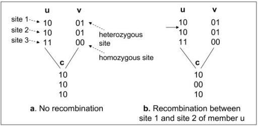 Non-recombination vs. recombination, showing haplotypes of members.