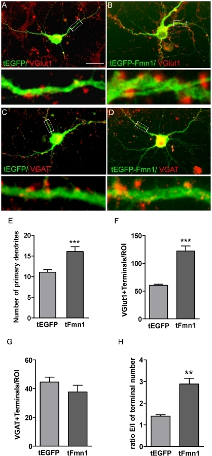 Effects of Fmn1-Ib overexpression on the morphology and synaptology of cultured hippocampal neurons.Cells were tranfected at 3 DIV with an EGFP (A and C) or EGFP-Fmn1-Ib (B and D) expressing C2 vector and immunostained with antibodies against GFP and VGlut1 or VGAT. (A–D) Representative immunofluorescence images of neurons marked in green for GFP and with its synaptic contacts marked in red. Scale bar, 25 µm. Lower panels show the boxed regions at higher magnification. (E) Number of primary dendrites. (F) Counts of VGlut1 immunoreactive terminals in contact with a neuron within a circular region of interest (ROI) with a diameter of 50 µm and centered in the neuronal soma. (G) Counts of VGAT immunoreactive terminals in contact with a neuron per ROI. Typically 60–75 neurons were evaluated in each condition (n = 3). (H) Ratio of excitatory/inhibitory (E/I) synaptic terminal number. Data are mean ± SEM and significance levels were determined using a Student t-test; ** p<0.01, *** p<0.001 versus EGFP expressing neurons values.