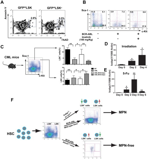 Long-term treatment of CML mice with imatinib fails to promote the transition of LSCs to BCR-ABL expressing LSK− cells.(A) Apoptotic rates between LSCs and BCR-ABL expressing LSK− cells in CML mice were compared. At day 14 after induction of CML, apoptotic rate in GFP+LSK− was slightly higher than that of LSCs. (B) The percentage of GFP+LSK− cells was increased after imatinib treatment for 12 days, beginning at day 8 after induction of CML (100 mg/kg). (C) The percentages of LSCs and GFP+LSK− cells in bone marrow of CML mice were compared after imatinib treatment for 55 days. *: p<0.05; **: p<0.01. (D) Icsbp expression was increased in bone marrow cells of mice treated with lethal irradiation. Bone marrow cells were collected from lethally irradiated mice at day 0, 2 and 4 after irradiation. Total RNA was extracted and Icsbp expression was determined by real-time PCR. *: p<0.05. (E) Icsbp expression in bone marrow cells was determined in 5-FU treated mice. Bone marrow cells were collected from 5-FU treated mice at day 0, 2, 4 and 6 after the treatment, and total RNA was extracted and Icsbp expression was determined by real-time PCR. *: p<0.05; **: p<0.01. (F) Proposed molecular model for the control of the transition of LSK/LSCs and LSK− cells. The balance between LSK and LSK− cells is controlled by the Icsbp/Lyn pathway in normal hematopoiesis and by Alox5 in BCR-ABL induced CML.