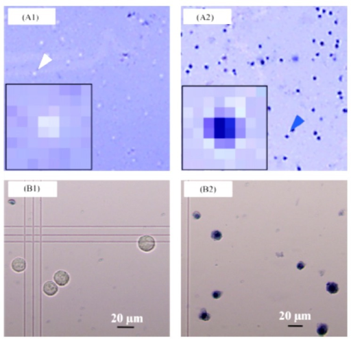 CMOS sensor (A) and microscopic (B) images of HeLa cells with no (A1 and B1) and with (A2 and B2) heat treatment following trypan blue staining [72]. Reproduced with the permission of Elsevier.