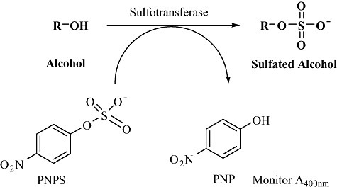 Enzymatic synthesis of sulfated scaffolds using bacterial sulfotransferases that utilize PNPS as cofactor and allow activity determination in high‐throughput format.