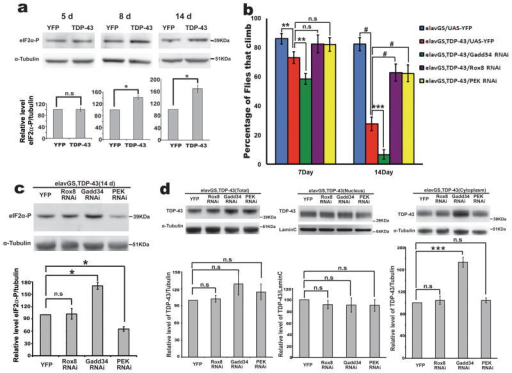 Genes that impact stress granule formation modulate TDP-43 toxicitya) TDP-43 expression increases eIF2α-phosphorylation levels. Genes were expressed in the nervous system in a drug-inducible manner with the elavGS driver. eIF2α- phosphorylation level of elavGS/UAS-YFP and elavGS, TDP-43/UAS-YFP flies fed as adults on RU486 (40μg/ml), and assessed at the indicated time-points. Genotypes: Control is elavGS/UAS-YFP. TDP-43 is elavGS, UAS-TDP-43(S)/UAS-YFP. Mean ± s.e.m., n=3 independent experiments. *p<0.05, *** p<0.001, n.s., not significant. (Student's t-test).b) Altering the levels of genes that reduce stress granule formation mitigates TDP-43 toxicity, and that promote stress granule formation enhances TDP-43 toxicity. Mean ± 95% CI of four experiments. Genotypes: elavGS/UAS-YFP is elavGS/UAS-YFP. elavGS, TDP-43/UAS-YFP is elavGS, UAS-TDP-43(S)/UAS-YFP. elavGS, TDP-43/Gadd34 RNAi is elavGS, UAS-TDP-43(S)/UAS-Gadd34. RNAiHMS00811. elavGS, TDP-43/Rox8 RNAi is elavGS, UAS-TDP-43(S)/UAS-Rox8. RNAiHMS00472. elavGS, TDP-43/PEK RNAi is elavGS, UAS-TDP-43(S)/UAS-PEK. RNAiGL00030. All flies raised with RU486 (40μg/ml) (125 flies per genotype). ANOVA for significance, followed by Tukey's multiple comparison test, **p<0.01, *** p<0.001, # p<0.0001, n.s., not significant.c) eIF2α-phosphorylation level of elavGS, TDP-43/UAS-YFP, elavGS, TDP-43/Rox8 RNAi, elavGS, TDP-43/Gadd34 RNAi and elavGS, TDP-43/PEK RNAi. Mean ± s.e.m., n=3 independent experiments. *p<0.05, n.s., not significant (Student's t-test).d) Total, nuclear and cytosolic TDP-43 protein level in 10d fly heads. Genes predicted to increase stress granules formation increase cytoplasmic TDP-43 protein levels. Mean ± s.e.m., n=3 independent experiments. *** p<0.001, n.s., not significant (Student's t-test).