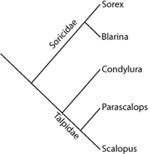 "Schematic of phylogeny of ""Insectivora"" (Eulipotyphyla) species used in this investigation.The shrews are in the family Soricidae and are represented in the Sorex and Blarina genera. Their sister group is the family Talpidae, with examples from Condylura, Parascalops, and Scalopus genera. Adapted from Grenyer and Purvis, 2003 and Symonds, 2005."