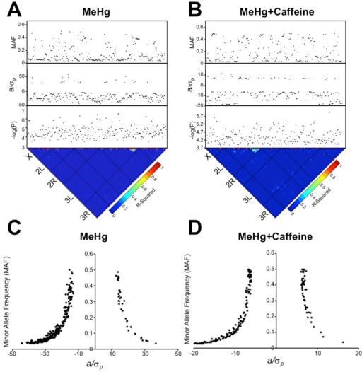 Genome-wide association analysis of eclosion on MeHg with and without caffeine supplementation.Single marker analyses using ANOVA of 2,180,555 (MeHg alone) and 2,357,353 (MeHg+caffeine) polymorphic alleles across 167 (MeHg alone) and 139 (MeHg+caffeine) DGRP lines, respectively, resolved (A) 350 and (B) 239 polymorphic markers (p<10−4, MAF>3%). Depicted is a heat map for linkage disequilibrium (LD) based on r2 values where the black bars represent the five major Drosophila chromosome arms. Red indicates high LD, while blue indicates low LD. The black dots represent polymorphic marker associations for eclosion on MeHg or MeHg+caffeine. p values (log10(p)), effect size (a/σP), and the minor allele frequency (MAF) are shown. (C,D) MAF vs. effect size. All 350 (C) or 239 (D) polymorphic markers associated with phenotypic variation for eclosion on MeHg or MeHg+caffeine, respectively, are depicted. a/σp indicates effect size ([mean of major allele class – mean of minor allele class]/2), where negative a/σp indicates the minor allele is associated with increased MeHg tolerance with respect to eclosion.