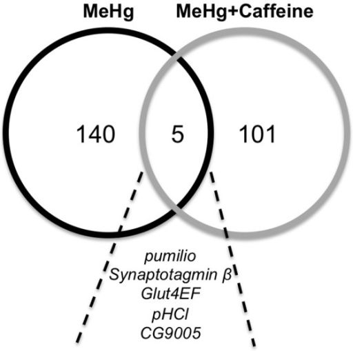 Overlap of genes identified by common polymorphic markers for variance in MeHg and MeHg+caffeine treatments.Candidate genes were identified from one or more associated polymorphisms in GWA analyses. A total of 145 and 106 genes were identified for MeHg and MeHg+caffeine, respectively. In common between the two treatments are 5 genes: pumilio, Synaptotagmin β, Glut4EF, pHCl, and CG9005.