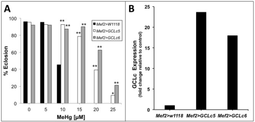 Muscle-specific expression of glutamate-cysteine ligase (GCL) rescues eclosion on MeHg.(A) Eclosion assays comparing flies expressing the catalytic subunit of GCL in two independent UAS responder lines (GCLc5 and GCLc6) using the muscle-specific Mef2-GAL4 driver (Mef2) with control flies (Mef2>w1118). Statistical analyses by z- test, n = 150 flies/bar. * p <0.001 and **p<0.0001 relative to Mef2>w1118. (B) Expression of GCLc mRNA in P12 pupae thoracic RNA extracts (pooled sample of n = 20 pupae) measured via qRT-PCR.
