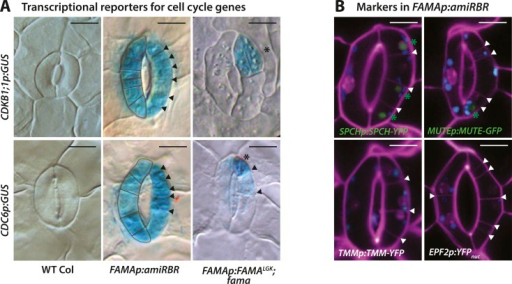Expression of cell cycle and stomatal reporters in FAMALGK plants (FAMAp:FAMALGK;fama) and amiRBR (FAMAp:amiRBR) mutants and examples of timelapse images for SPCH and MUTE markers.(A) GUS staining of transcriptional reporters for cell cycle genes CDKB1;1 and CDC6 (rows) in WT Col (left column), amiRBR (middle), and FAMALGK plants (right column). Note that the pattern and levels of expression differ between the RBR knockdown line (amiRBR) and when the interaction between FAMA and RBR is disrupted (FAMALGK). In the amiRBR line, CDKB1;1 and CDC6 are strongly expressed in both GCs, each of which displays ectopic cell divisions (outline in left guard cell and arrowheads in the right guard cell). Broad expression of CDKB1;1 and CDC6 is consistent with RBR's function as a direct repressor of the transcription factor E2F and its cell cycle target genes required for the G1 to S-phase transition (Gutzat et al., 2012). In FAMALGK plants, however, CDKB1;1 and CDC6 are restricted to only some stomatal cell divisions (stars mark new GCs and arrows mark amplifying ACDs). Expression of CDKB1;1 and CDC6 are likely consequences of regulated cell divisions as the mutant GCs progress through the stomatal lineage. (B) Confocal images of stomatal lineage reporters in GCs of amiRBR. Cell outlines are visualized with propidium iodide (purple). Arrowheads correspond to ectopic cell divisions. Of the reporters tested, SPCH and MUTE are weakly and infrequently seen (<20% of GCs) and only in GCs with many ectopic divisions (green asterisks). TMM and EPF2, however, were not detectable. Small blue disks visible in these cells are chloroplasts. Scale bar, 10 μm.DOI:http://dx.doi.org/10.7554/eLife.03271.007