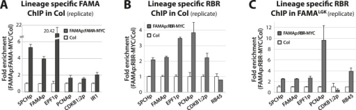 Biological replicates for ChIP experiments in Figure 5.ChIP assays were performed with FAMAp:FAMA-MYC in Col (A), FAMAp:RBR-MYC in Col (B), and FAMAp:RBR-MYC in FAMALGK plants (C) using an anti-Myc antibody as in (Lau et al., 2014). ChIPed DNA was quantified by qPCR with primers specific to the indicated gene promoters or the negative control region, IR1 or RB45 (Cruz-Ramirez et al., 2012) and (Weimer et al., 2012). Input-adjusted signals were normalized to Col. Values are means ± SEM.DOI:http://dx.doi.org/10.7554/eLife.03271.015