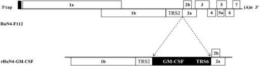 Construction of the plasmid HuN4-GM-CSF. Porcine GM-CSF and a copy of the transcription regulatory sequence for PRRSV ORF6 (TRS6) were inserted between ORF1b and ORF2 of the infectious molecular clone of the HuN4-F112 vaccine strain by overlap PCR.