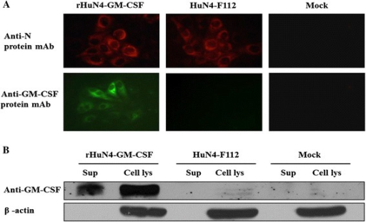 Expression of GM-CSF by rHuN4-GM-CSF. Cells were infected at a multiplicity of infection (MOI) of 1 with viruses and incubated for 24 hours before analysis. (A) The virus-infected MARC-145 cells were fixed and tested by IFA to determine the expression of PRRSV N protein and porcine GM-CSF. Original Magnification 200×. (B) Western blot detection of GM-CSF in the supernatant fraction (sup) or cell lysates (cell lys) of MARC-145 cells infected with viruses.